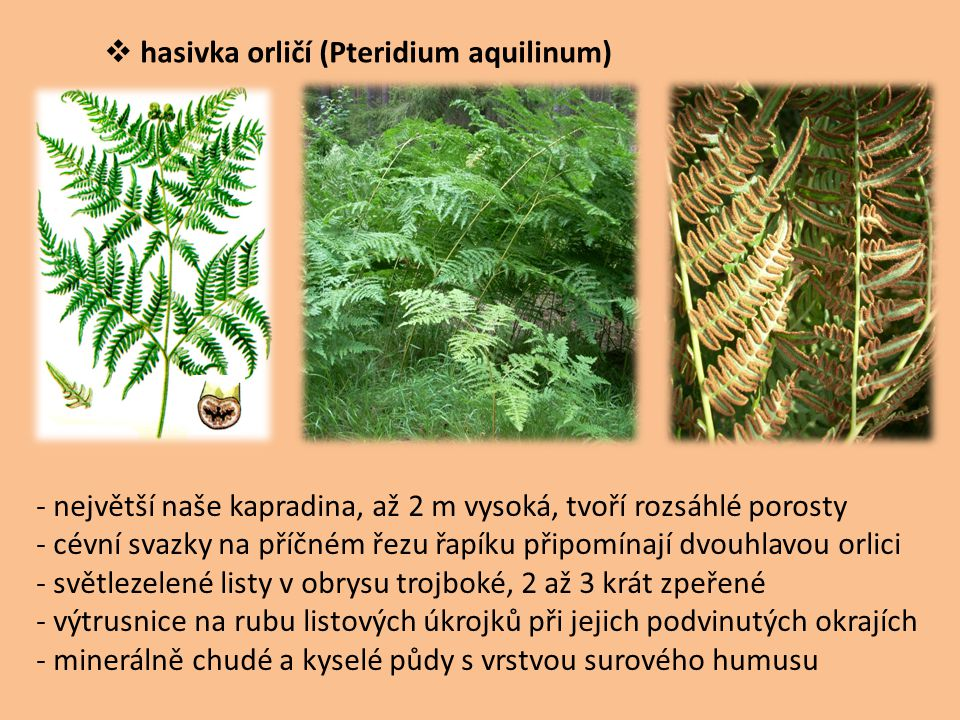 hasivka orličí (Pteridium aquilinum)