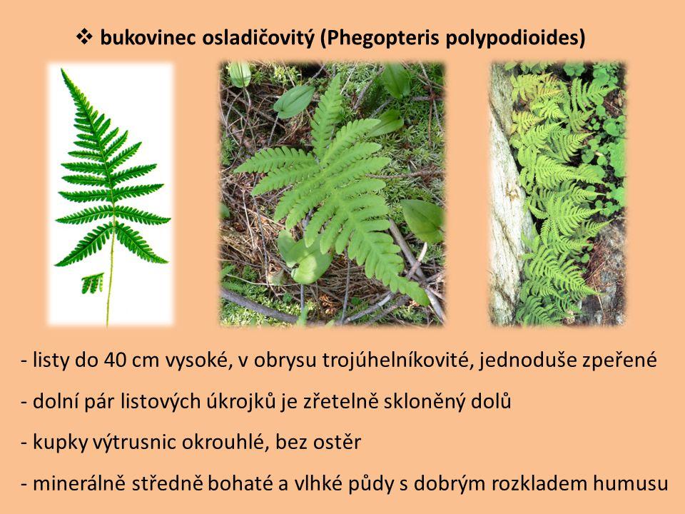 bukovinec osladičovitý (Phegopteris polypodioides)