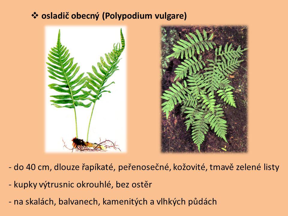 osladič obecný (Polypodium vulgare)