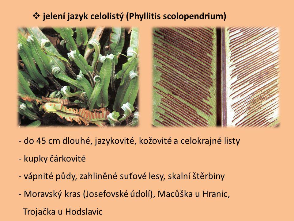 jelení jazyk celolistý (Phyllitis scolopendrium)