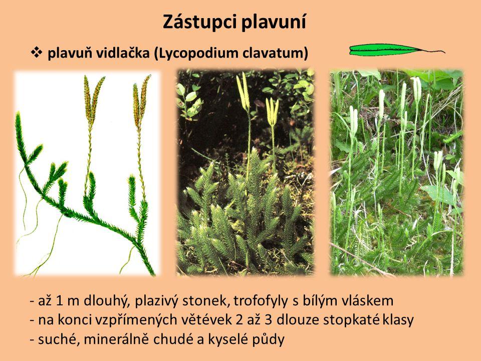 Zástupci plavuní plavuň vidlačka (Lycopodium clavatum)