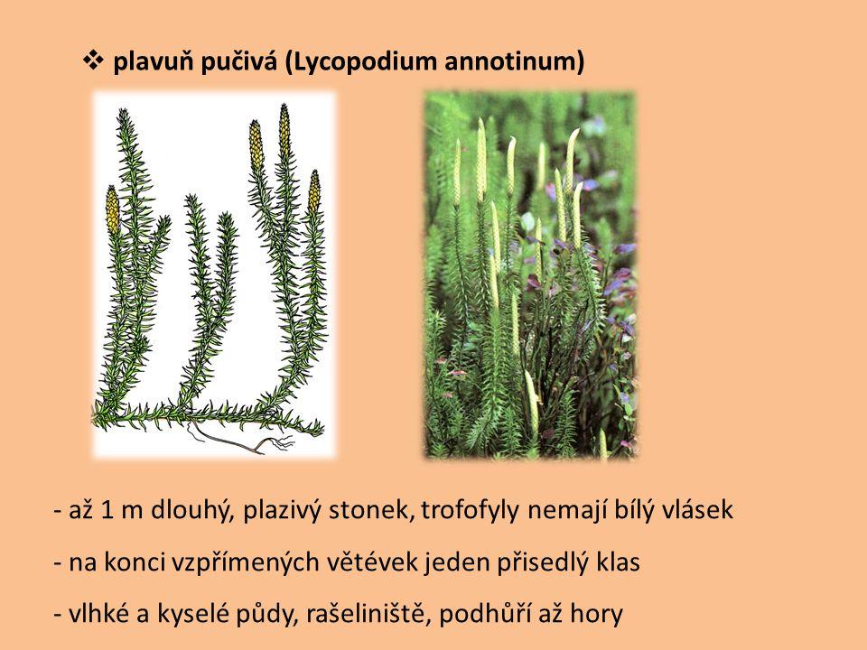 plavuň pučivá (Lycopodium annotinum)