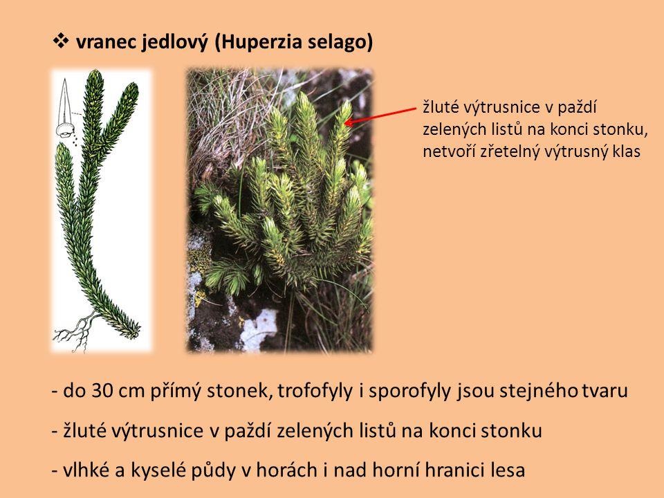 vranec jedlový (Huperzia selago)