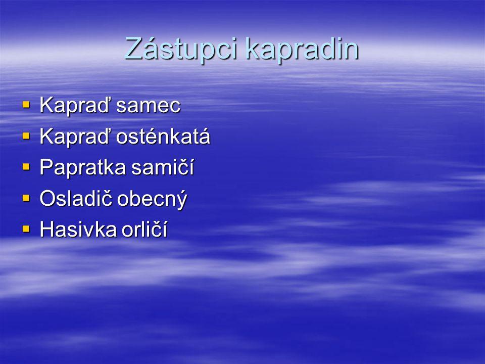 Zástupci kapradin Kapraď samec Kapraď osténkatá Papratka samičí