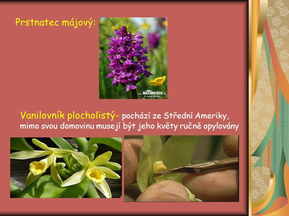 Prstnatec májový: Vanilovník plocholistý- pochází ze Střední Ameriky, mimo svou domovinu musejí být jeho květy ručně opylovány.