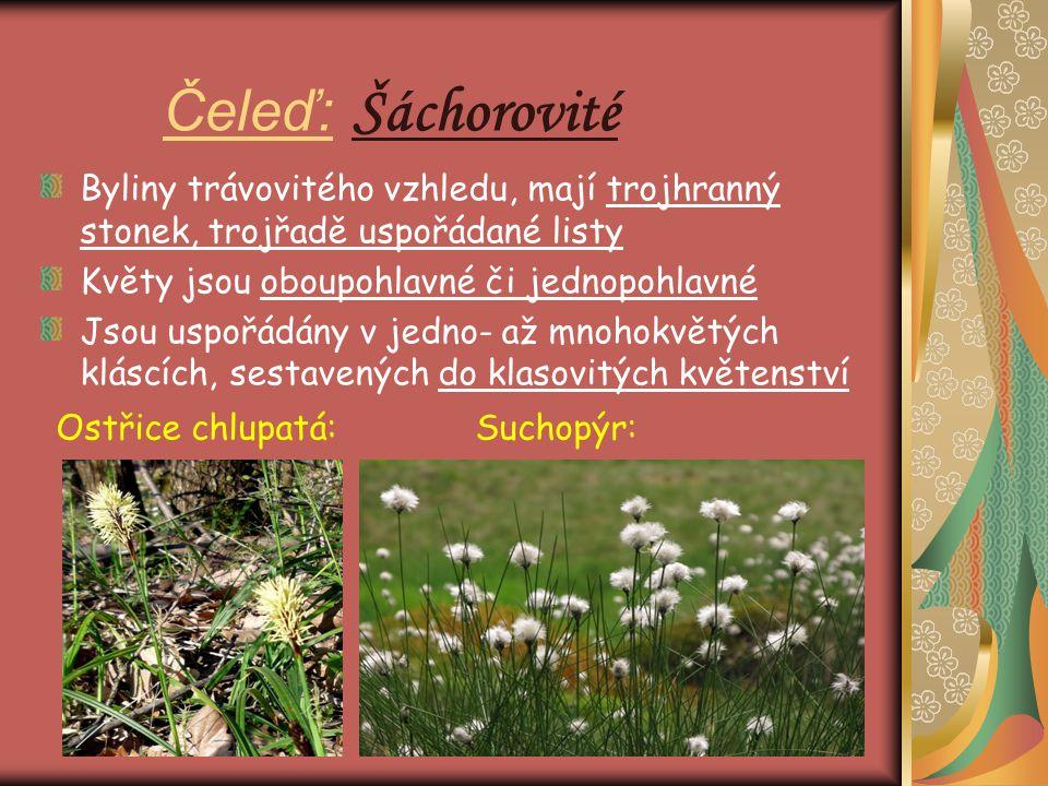 Čeleď: Šáchorovité Byliny trávovitého vzhledu, mají trojhranný stonek, trojřadě uspořádané listy. Květy jsou oboupohlavné či jednopohlavné.