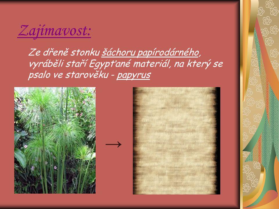 Zajímavost: Ze dřeně stonku šáchoru papírodárného, vyráběli staří Egypťané materiál, na který se psalo ve starověku - papyrus.