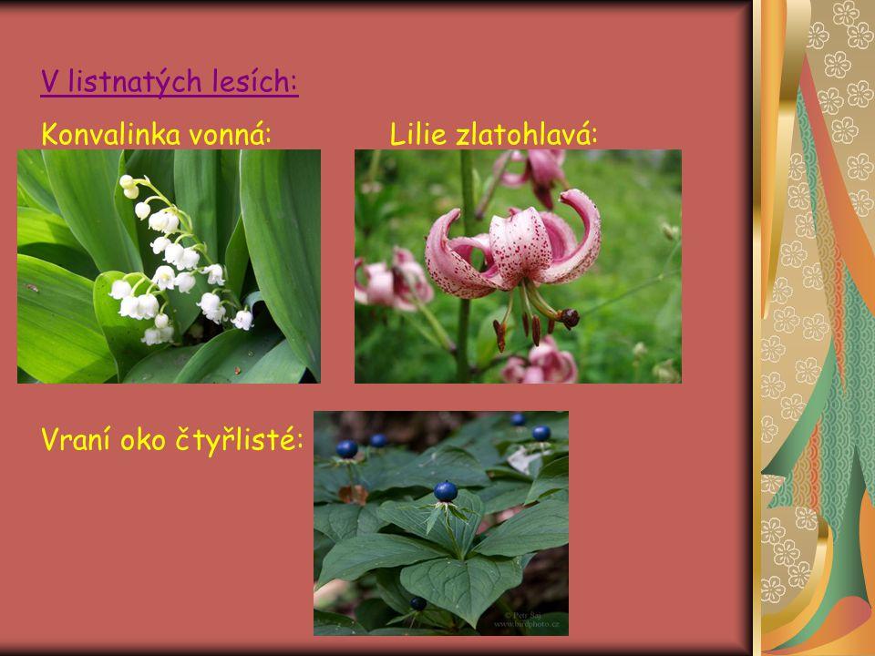 V listnatých lesích: Konvalinka vonná: Lilie zlatohlavá: Vraní oko čtyřlisté:
