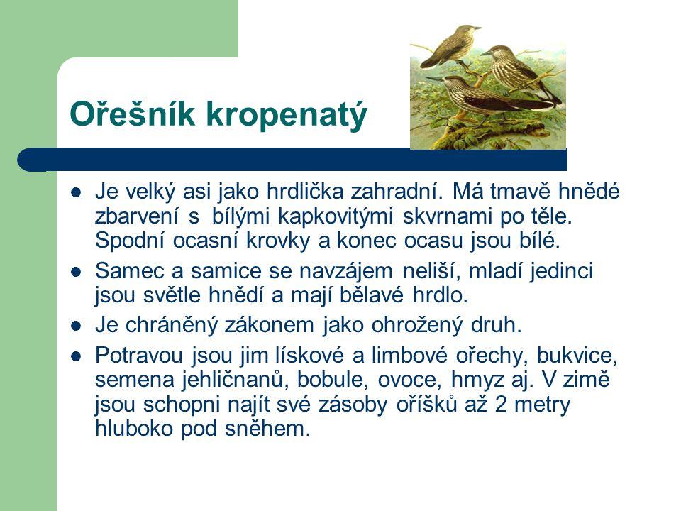 Ořešník kropenatý