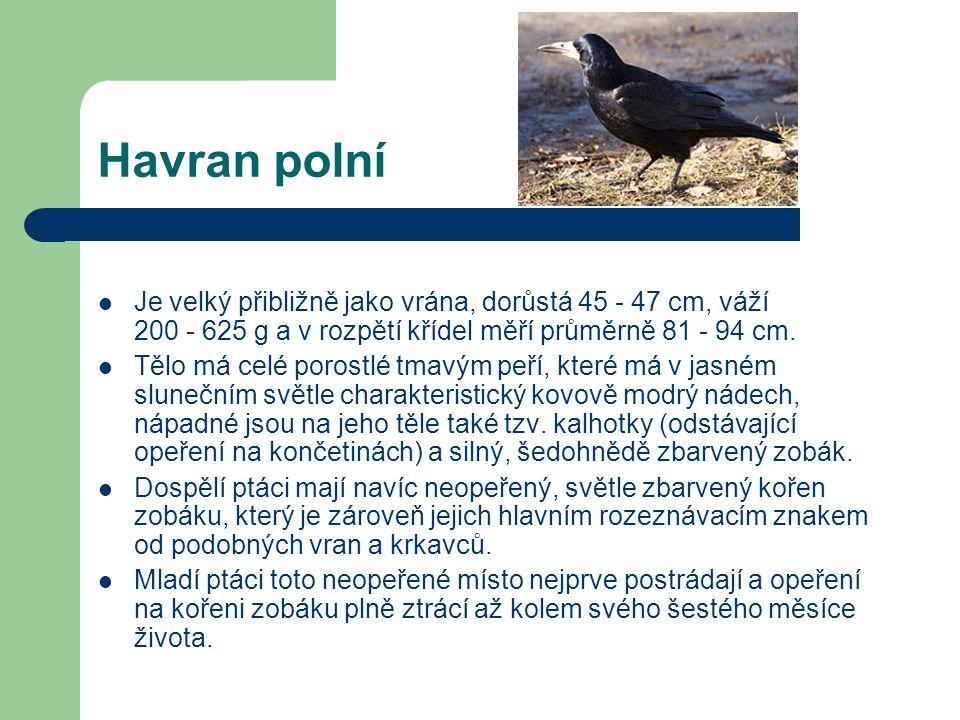 Havran polní Je velký přibližně jako vrána, dorůstá 45 - 47 cm, váží 200 - 625 g a v rozpětí křídel měří průměrně 81 - 94 cm.