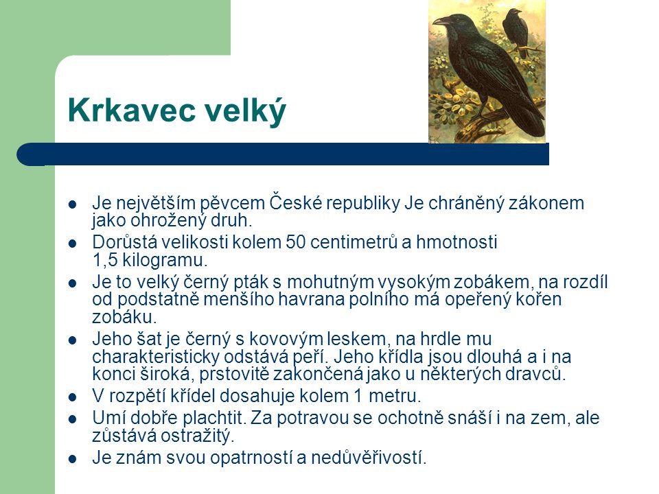 Krkavec velký Je největším pěvcem České republiky Je chráněný zákonem jako ohrožený druh.