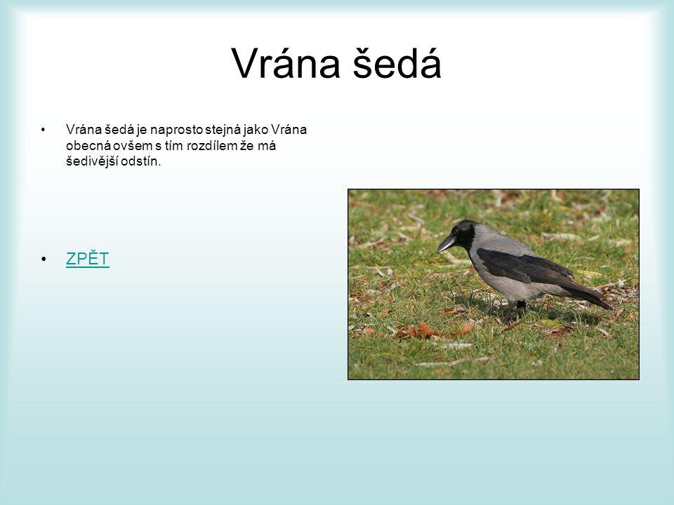 Vrána šedá Vrána šedá je naprosto stejná jako Vrána obecná ovšem s tím rozdílem že má šedivější odstín.