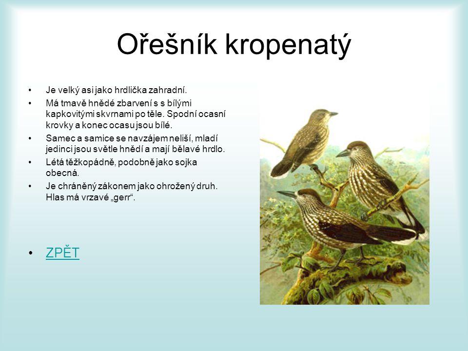 Ořešník kropenatý ZPĚT Je velký asi jako hrdlička zahradní.