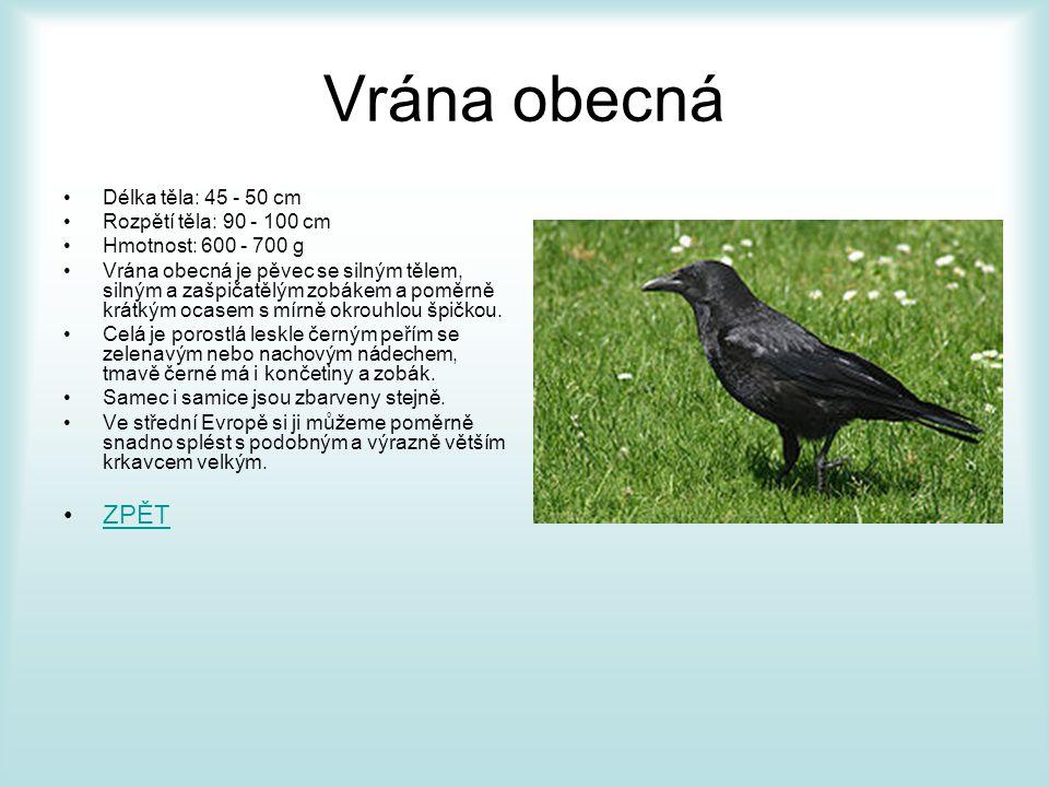 Vrána obecná ZPĚT Délka těla: 45 - 50 cm Rozpětí těla: 90 - 100 cm