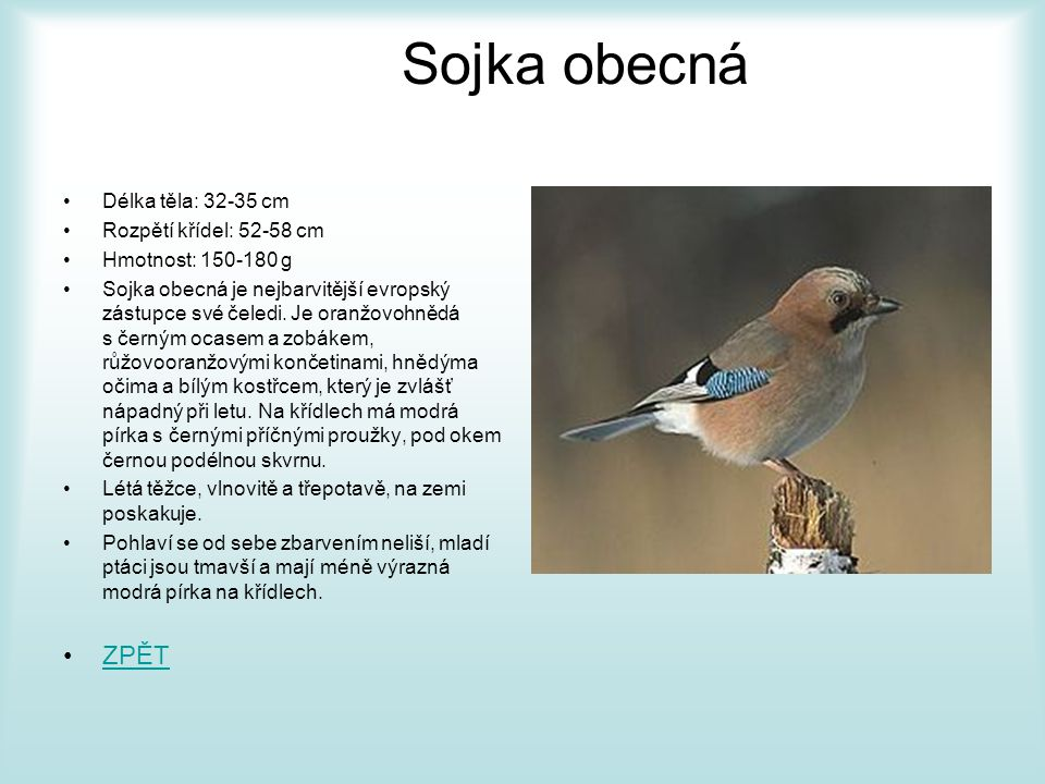 Sojka obecná ZPĚT Délka těla: 32-35 cm Rozpětí křídel: 52-58 cm