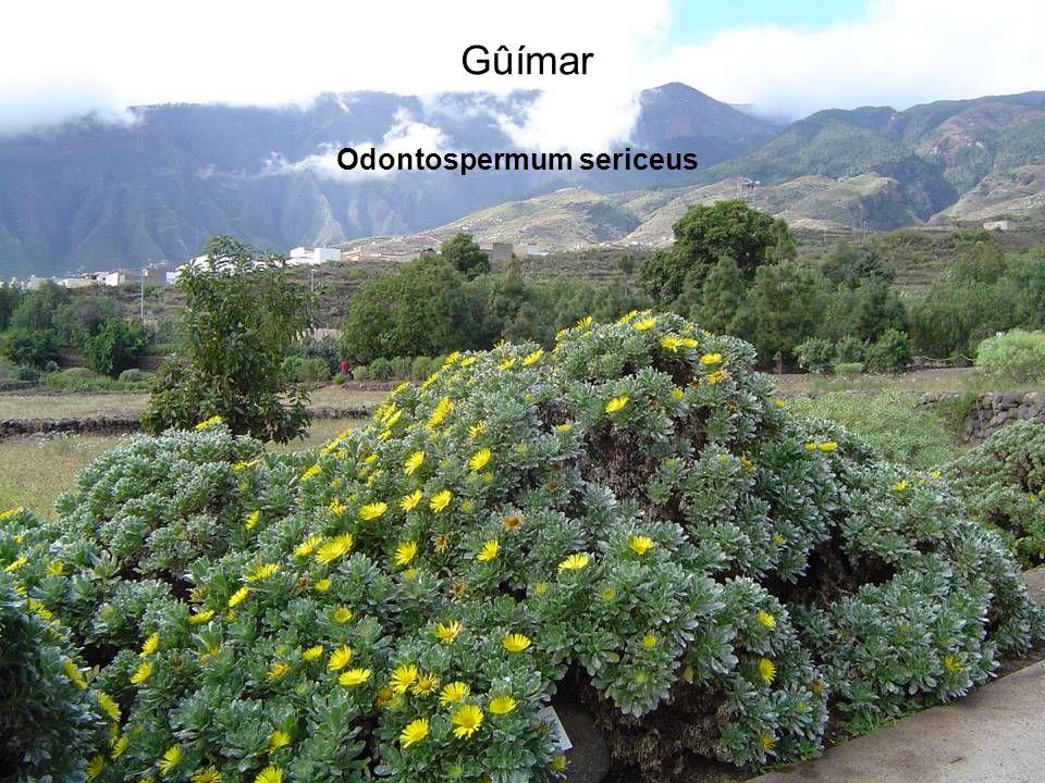 Odontospermum sericeus