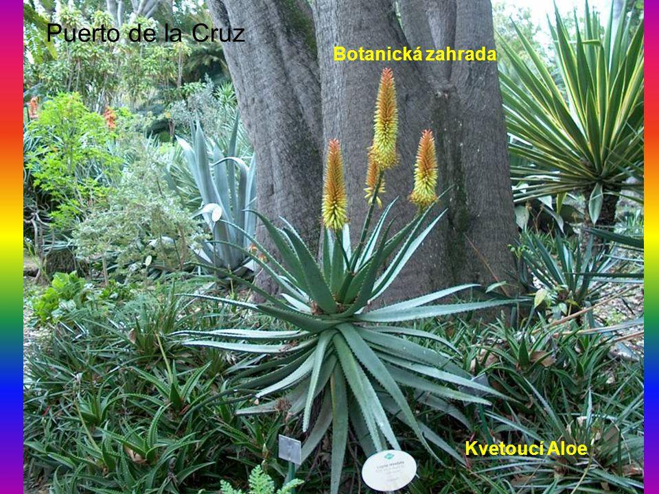 Puerto de la Cruz Botanická zahrada Kvetoucí Aloe