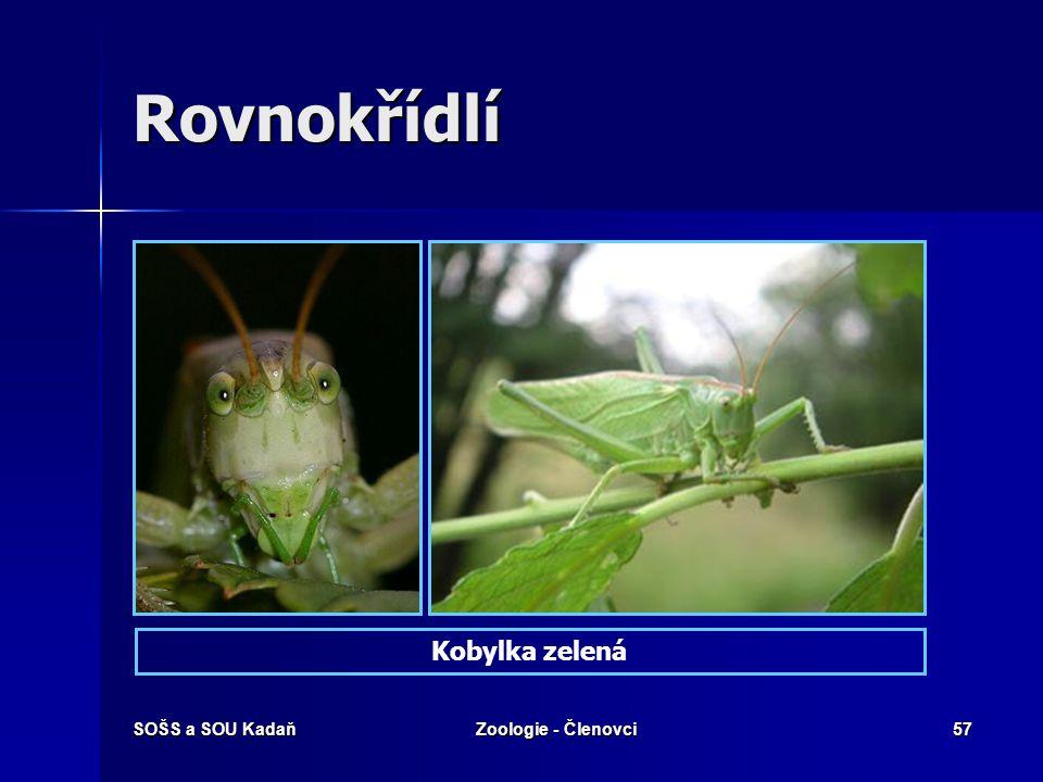 Rovnokřídlí Kobylka zelená SOŠS a SOU Kadaň Zoologie - Členovci