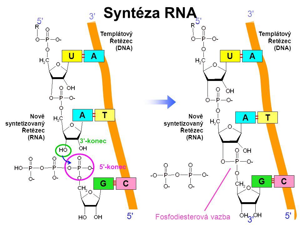 Syntéza RNA A G C U T 5 3 3 5 U A A T G C 5 3