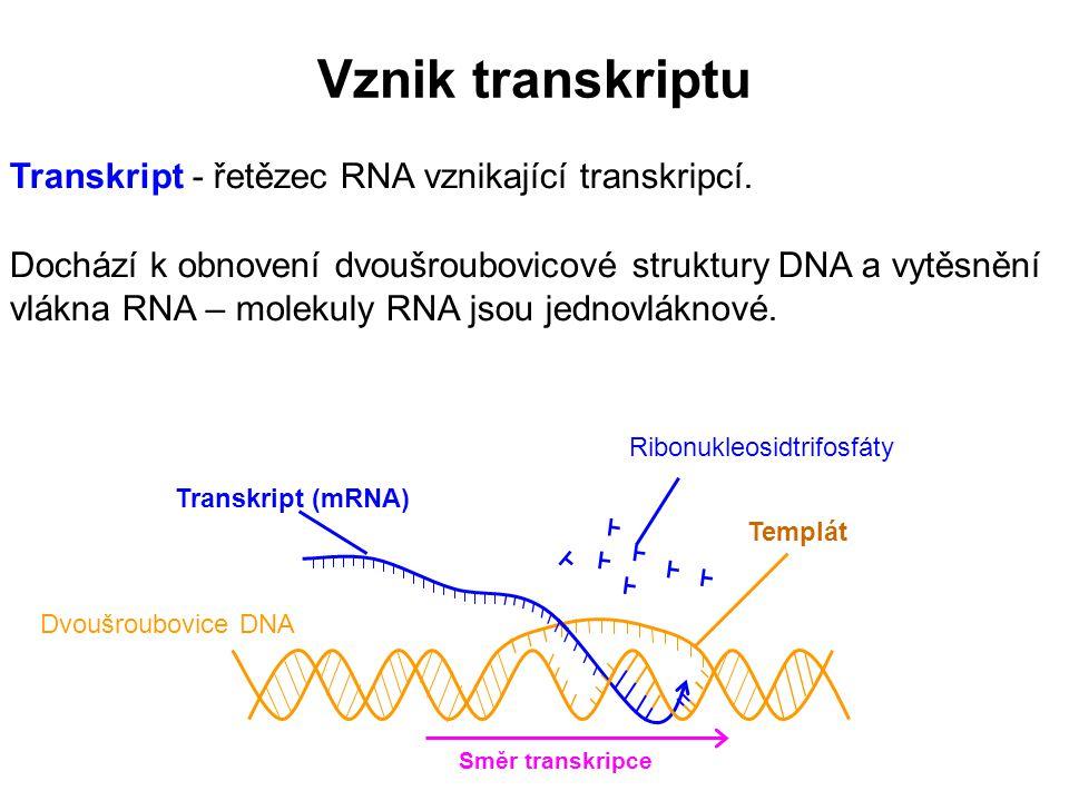 Vznik transkriptu Transkript - řetězec RNA vznikající transkripcí.