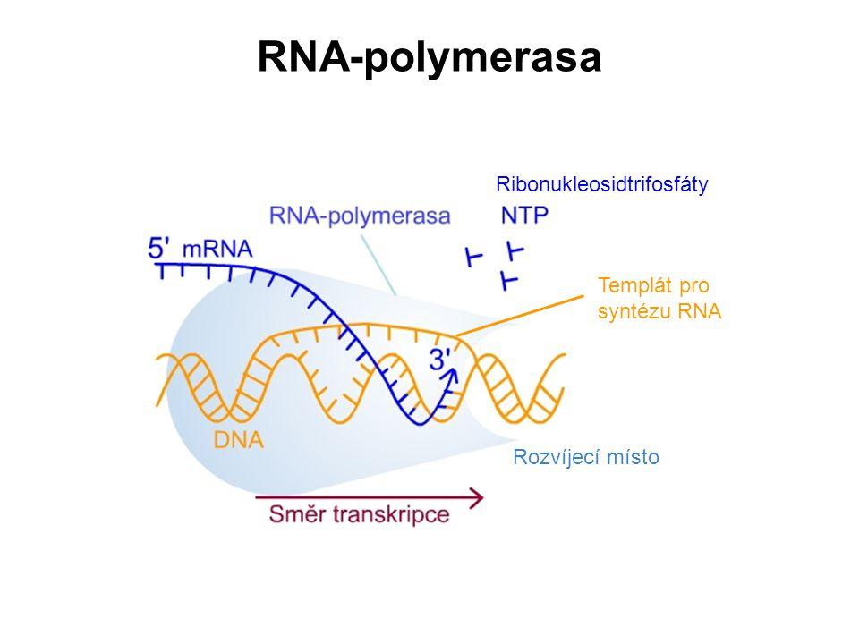 RNA-polymerasa Ribonukleosidtrifosfáty Templát pro syntézu RNA