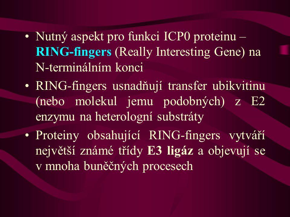 Nutný aspekt pro funkci ICP0 proteinu – RING-fingers (Really Interesting Gene) na N-terminálním konci