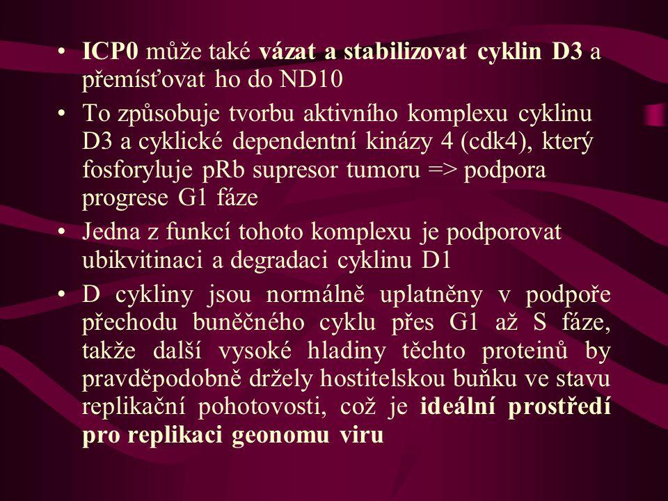 ICP0 může také vázat a stabilizovat cyklin D3 a přemísťovat ho do ND10