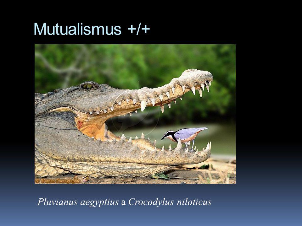 Mutualismus +/+ Pluvianus aegyptius a Crocodylus niloticus