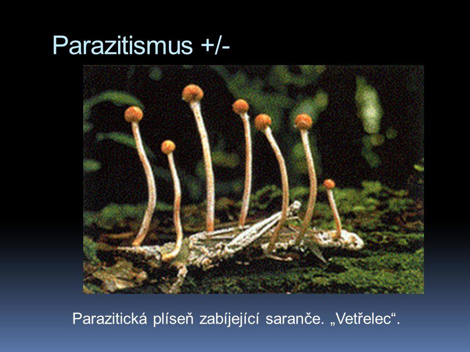 """Parazitismus +/- Parazitická plíseň zabíjející saranče. """"Vetřelec ."""