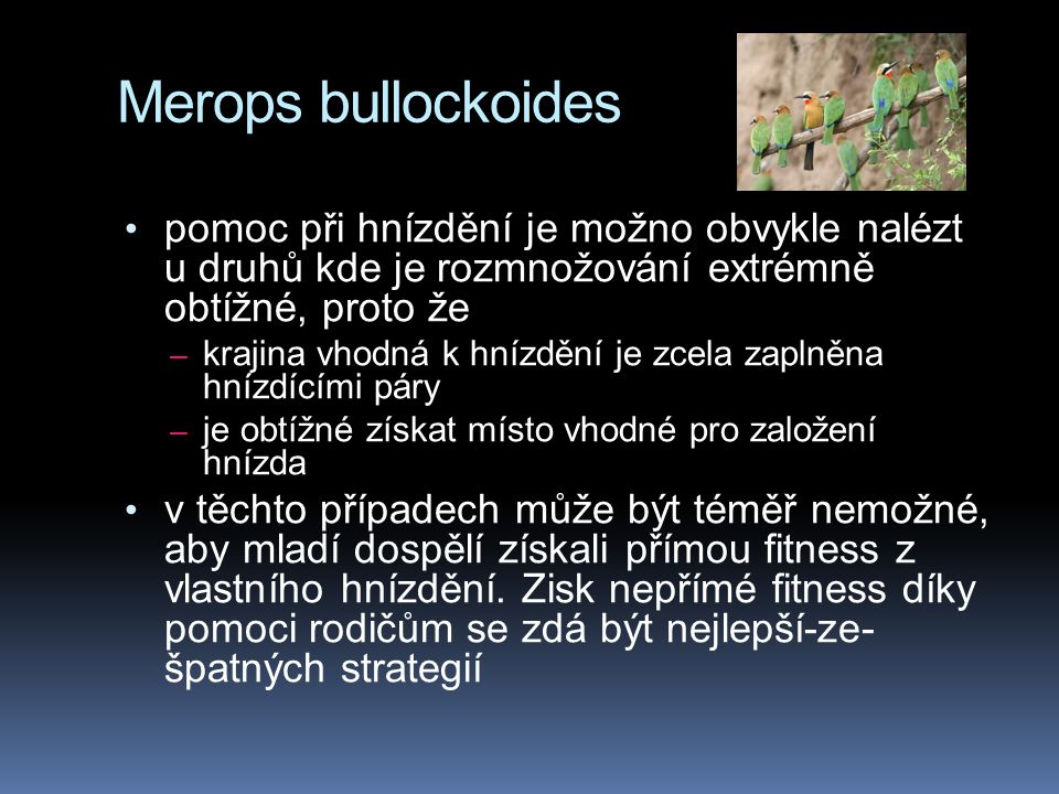Merops bullockoides pomoc při hnízdění je možno obvykle nalézt u druhů kde je rozmnožování extrémně obtížné, proto že.