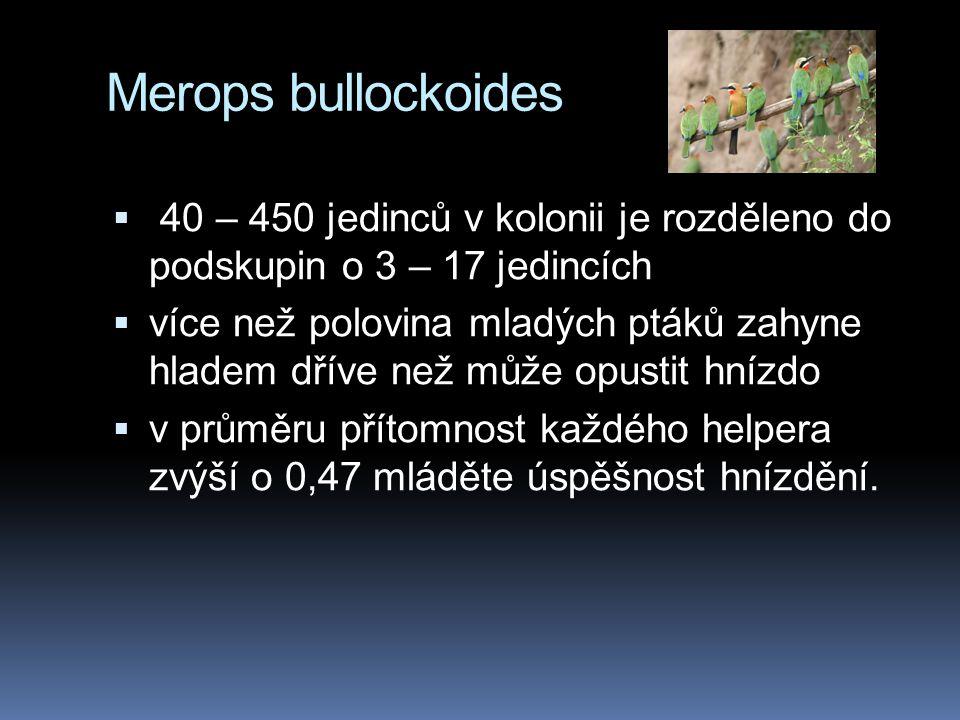 Merops bullockoides 40 – 450 jedinců v kolonii je rozděleno do podskupin o 3 – 17 jedincích.