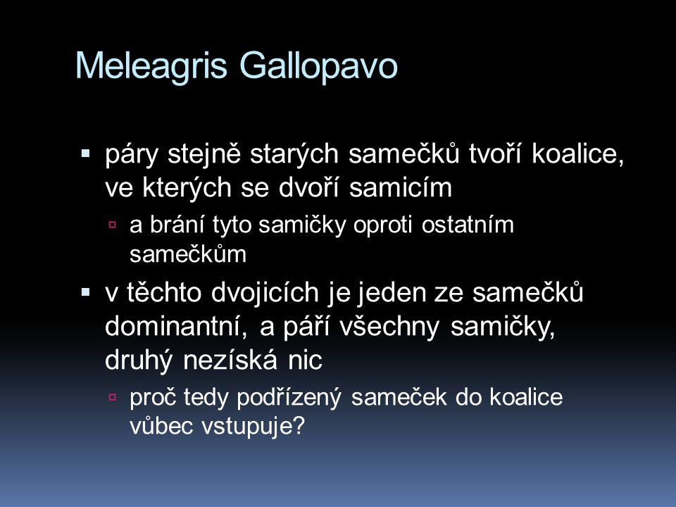 Meleagris Gallopavo páry stejně starých samečků tvoří koalice, ve kterých se dvoří samicím. a brání tyto samičky oproti ostatním samečkům.