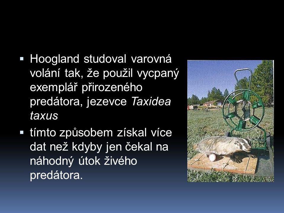 Hoogland studoval varovná volání tak, že použil vycpaný exemplář přirozeného predátora, jezevce Taxidea taxus