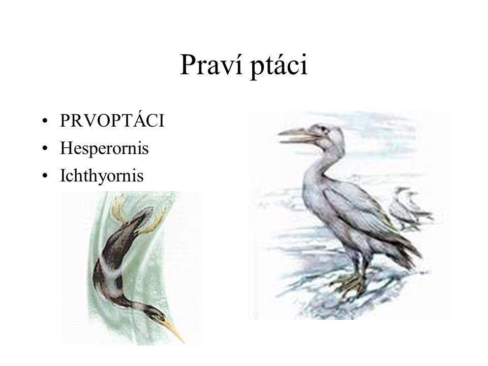 Praví ptáci PRVOPTÁCI Hesperornis Ichthyornis