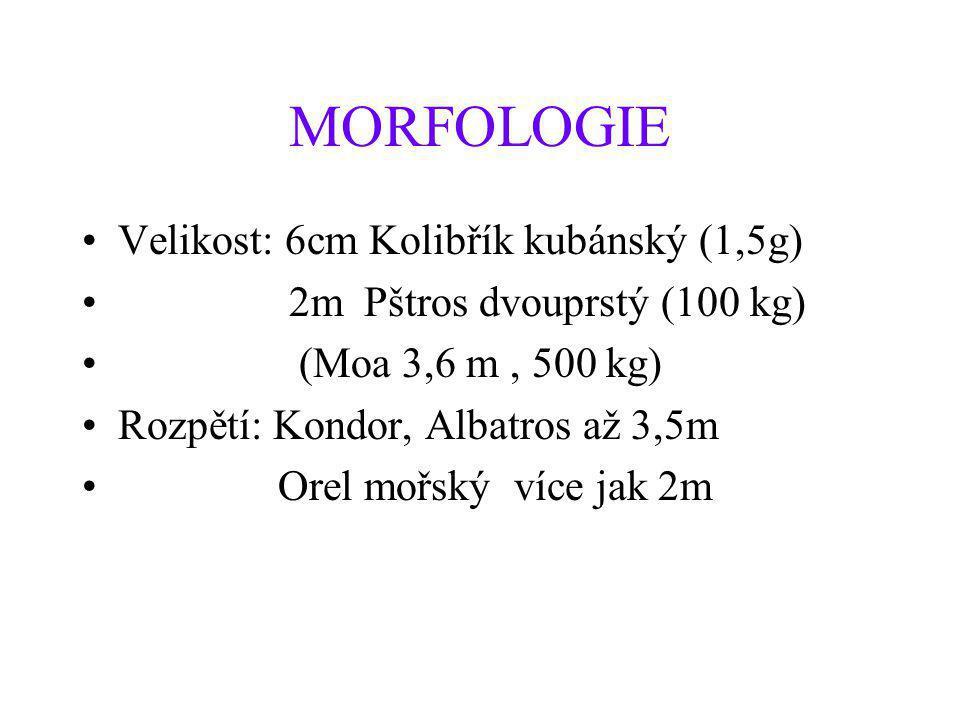 MORFOLOGIE Velikost: 6cm Kolibřík kubánský (1,5g)