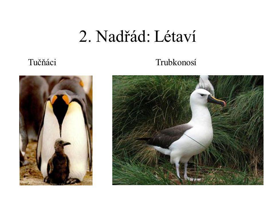 2. Nadřád: Létaví Tučňáci Trubkonosí