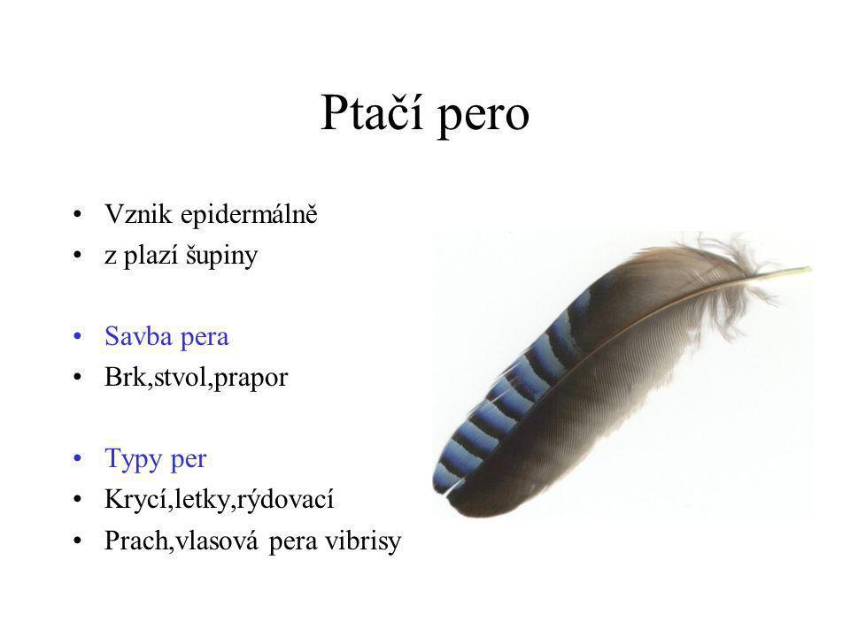 Ptačí pero Vznik epidermálně z plazí šupiny Savba pera