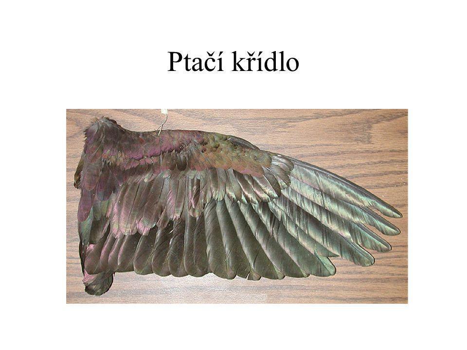 Ptačí křídlo