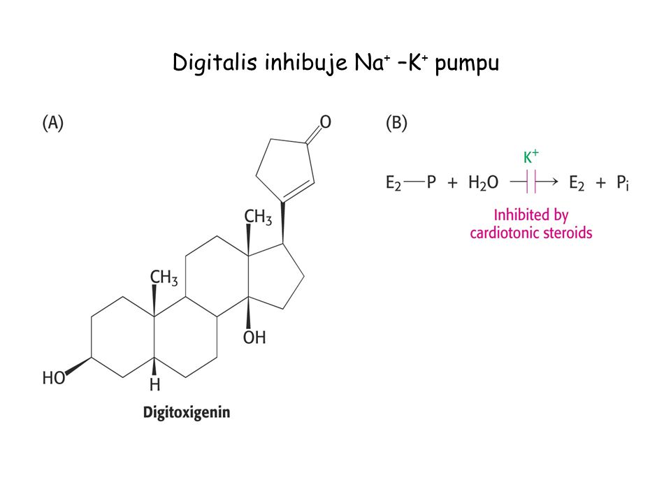 Digitalis inhibuje Na+ –K+ pumpu