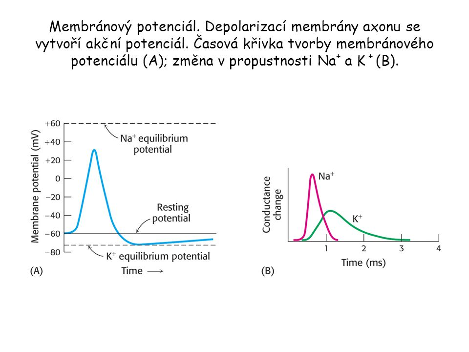 Membránový potenciál. Depolarizací membrány axonu se vytvoří akční potenciál.