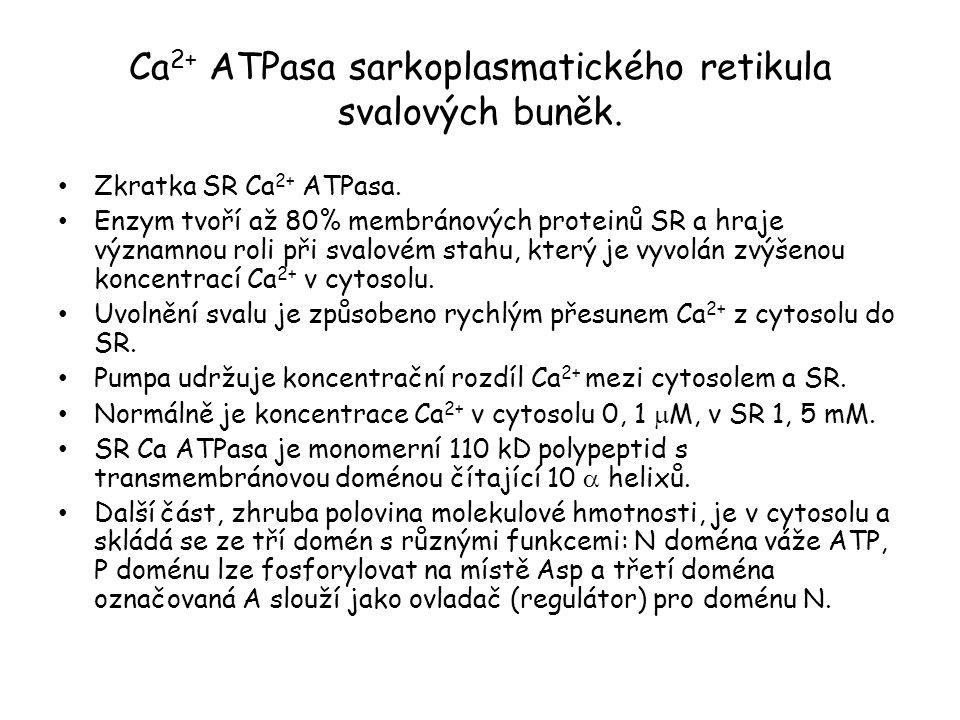 Ca2+ ATPasa sarkoplasmatického retikula svalových buněk.