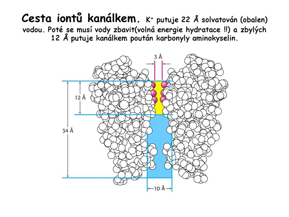 Cesta iontů kanálkem. K+ putuje 22 Å solvatován (obalen) vodou