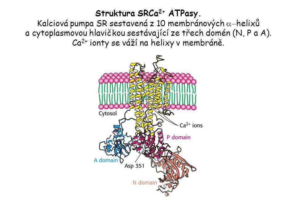 Struktura SRCa2+ ATPasy