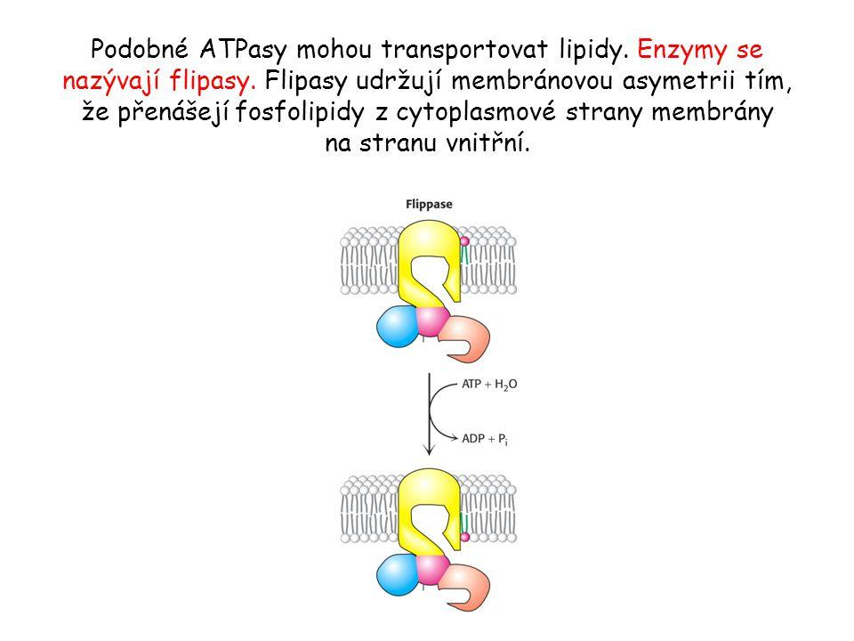 Podobné ATPasy mohou transportovat lipidy. Enzymy se nazývají flipasy