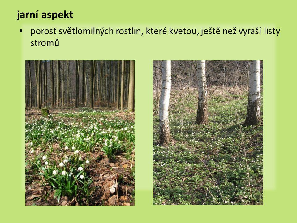 jarní aspekt porost světlomilných rostlin, které kvetou, ještě než vyraší listy stromů