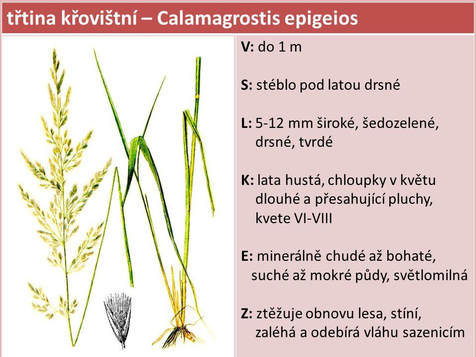 třtina křovištní – Calamagrostis epigeios