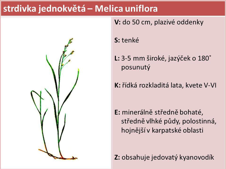 strdivka jednokvětá – Melica uniflora