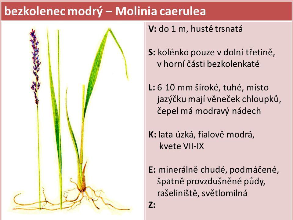bezkolenec modrý – Molinia caerulea