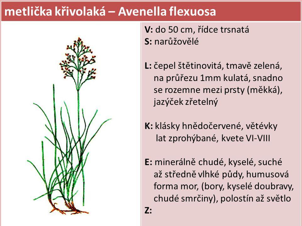metlička křivolaká – Avenella flexuosa