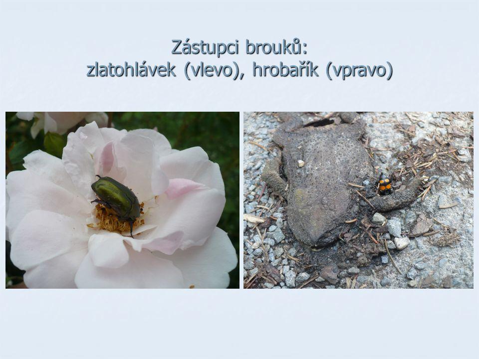 Zástupci brouků: zlatohlávek (vlevo), hrobařík (vpravo)